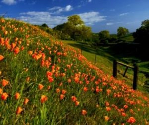 California Poppies in San Benito County by Don Smith