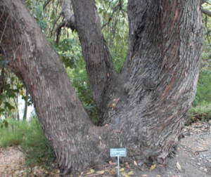 Eucalyptus_GavilanCollege_060514.png