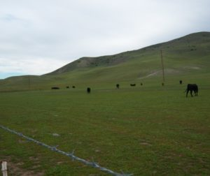 Cows on hill wishing for more grass