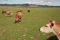 milking cows.jpg