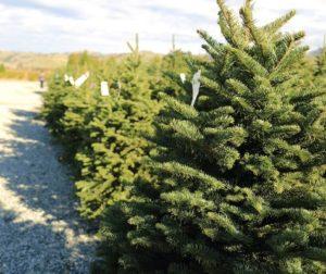 acres of christmas trees.jpg