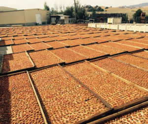 Ripe apricots dry in huge trays. File photo.