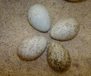 A clutch of Common Raven eggs that were taken from a nest in southern San Benito County in the 1920s by the late Jack O'Donnell. Photo courtesy of Mark Paxton.