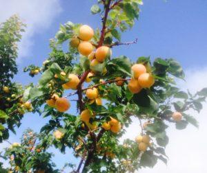 2016 Apricots Small.jpg