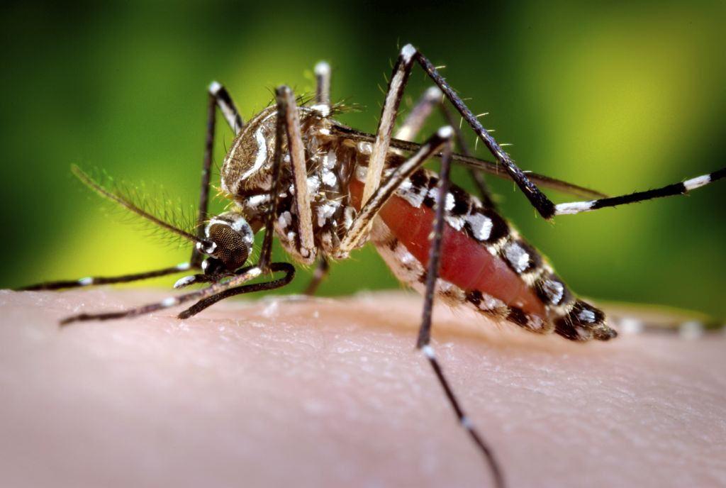 mosquito Aedes aegypti.jpg