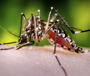 mosquito Aedes aegypti.jpg