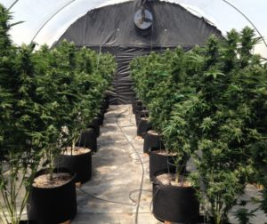 Legal Prop. 215 medical marijuana plants grown at Purple Cross RX.