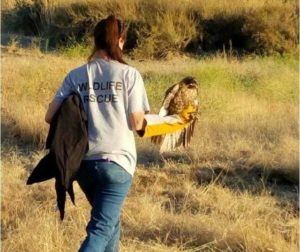 Barth rescues a downed red-tailed hawk near Sun Coast Bakery.