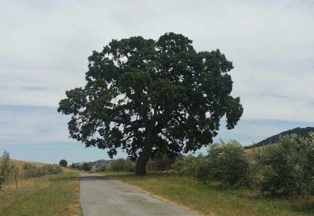 Oak wide.jpg