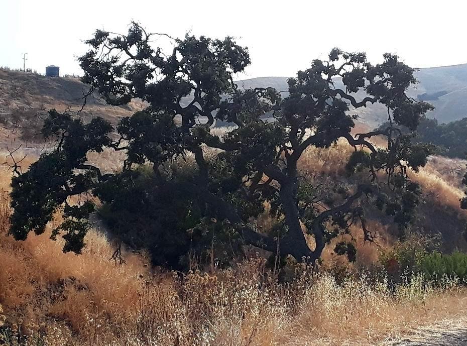 Cool oak.jpg
