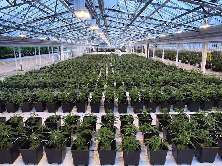 Commercial_Medical_Marijuana_grow1.jpg