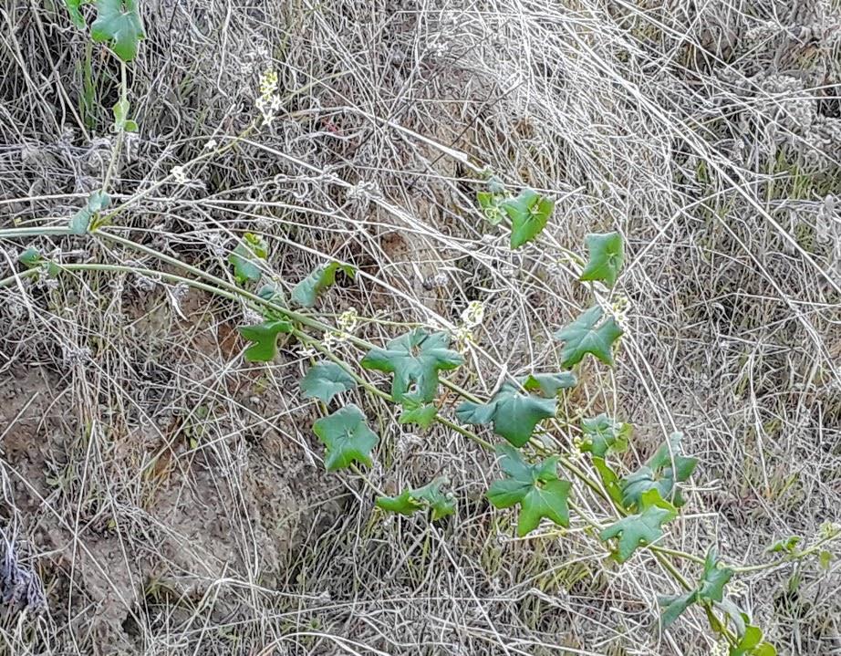 Wild cucumber suicide plant manroot POP.jpg