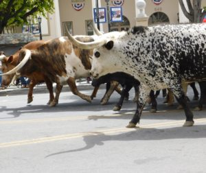 Cowboys and cowgirls herded longhorn cattle during the Downtown Parade on Saturday morning. Photo's courtesy of Blaire Strohn.