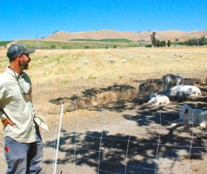 Kelly Mulville stands near sheep at Paicines Ranch in Paicines on June 14. Herbicide sprayed on weeds along Cienega Road in April by a San Benito County Public Works crew drifted onto the organic ranch. An investigation is underway. Photo by Tom Leyde.