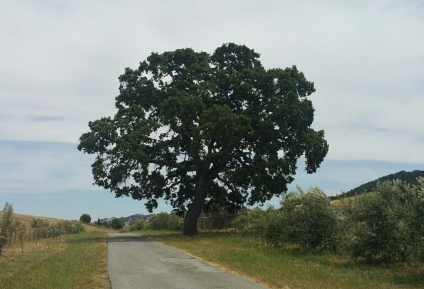 An old oak tree on the road to St. Francis Retreat. Photo by Jim Ostdick.