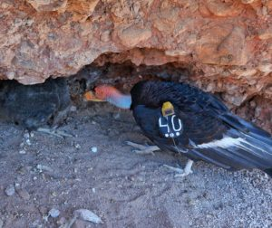 Condor 340 tends to his nestling 912 in the nest. Photo courtesy of Pinnacles National Park.