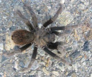 tarantula Pacheco 2011.jpg