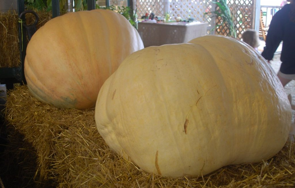 Giant Pumpkin Contest and Harvest Party starts at 6 p.m. Photo courtesy of Pixabay.