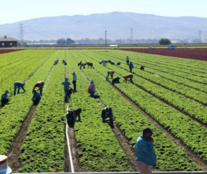 Farmworkers in San Benito County. Photo by John Chadwell.