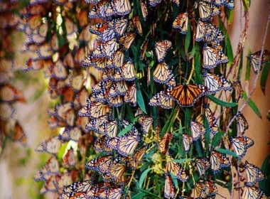 Monarch Butterflies. Photo courtesy of Christine Candelaria.