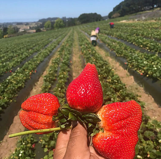 An open house is planned for this Saturday, May 4 from 12-5 p.m. Event entrance is free and will include music. Strawberry picking and food will be available for purchase.