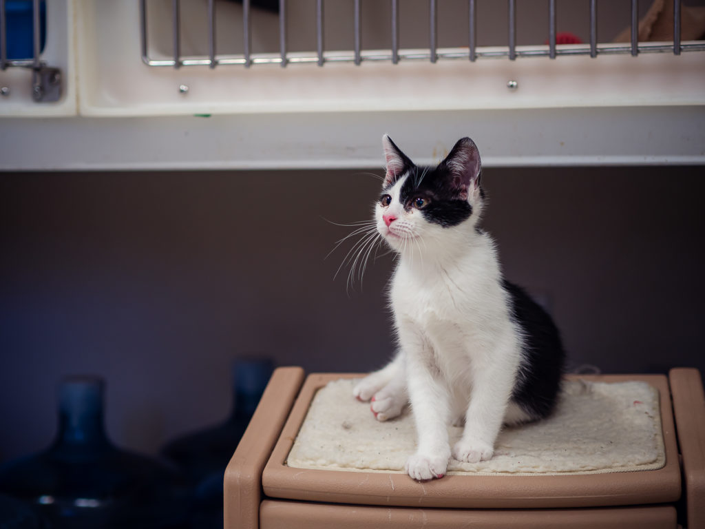 Eeyore is a playful kitten available for adoption. Photo by Heather Graham.
