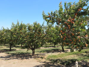 Summer brings with it the ripening of the Blenheim apricots. Photo by Becky Bonner.