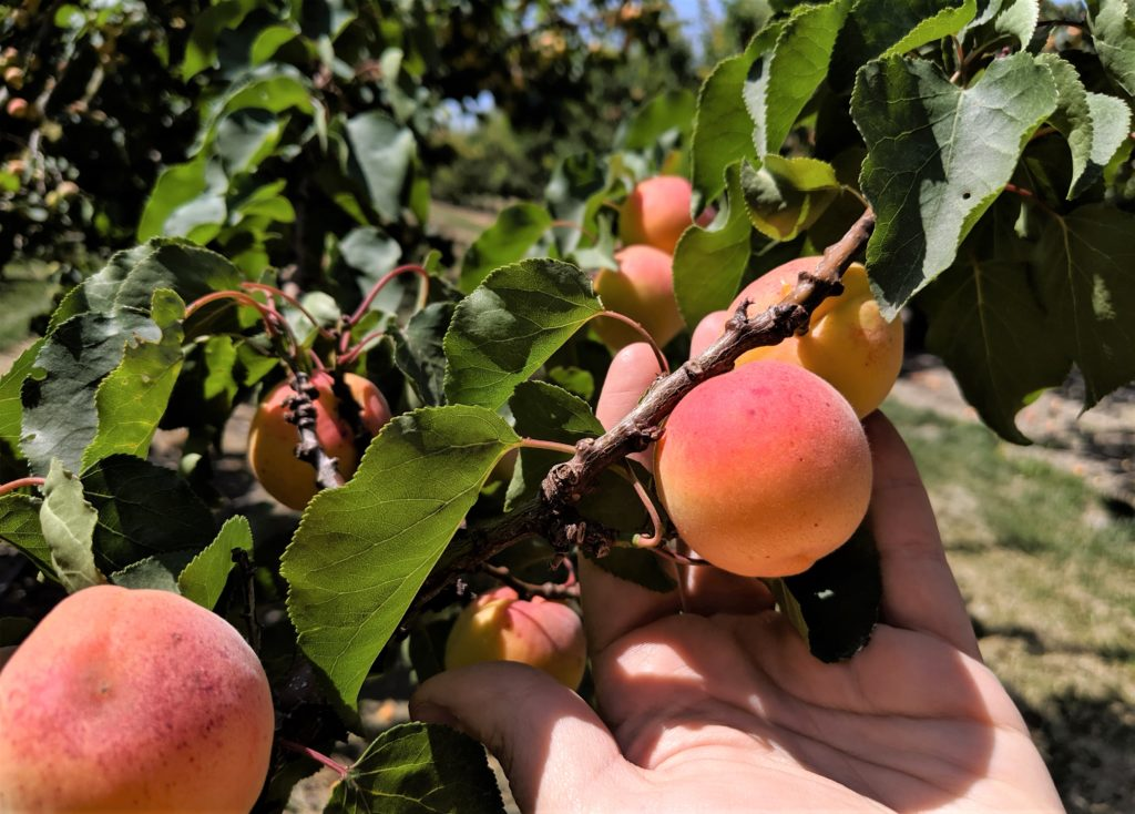 Blenheim apricots can be found on multiple farms in San Benito County. They are sweet and juicy fruit that can be eaten straight from the tree. Photo by Becky Bonner.