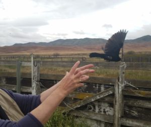 Shearwater takes a moment to release the first-ever banded Tricolored Blackbird in San Benito County. Photo courtesy of Debi Shearwater.