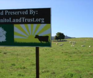 Charolais cattle grazing SBALT's Rancho Larios Open Space. Photo provided.