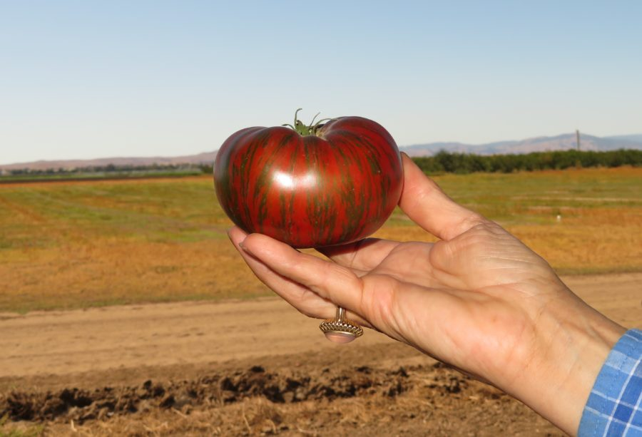 During harvest season, tomatoes are picked by hand to begin the seed extraction process.