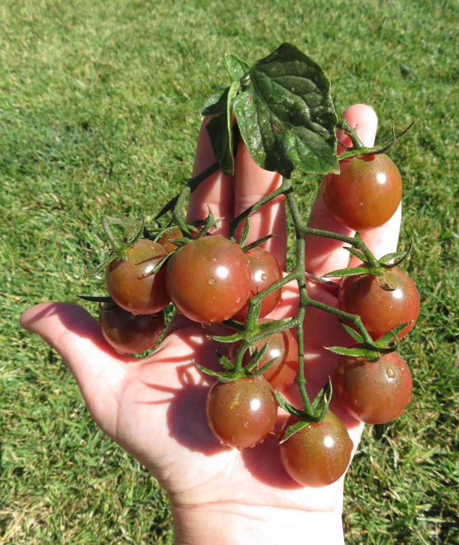 Black Cherry tomatoes are labeled as a