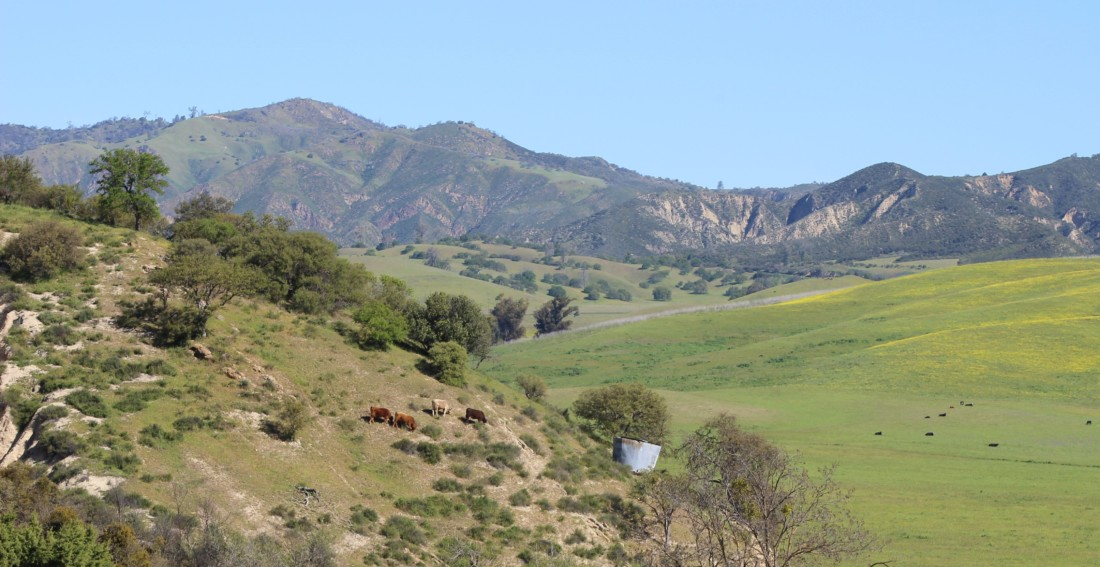 Cattle dotted hills and valleys in South County. Photo provided by SBALT.