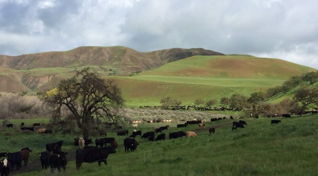 Stockers grazing in Paicines in springtime. Photo provided by SBALT.
