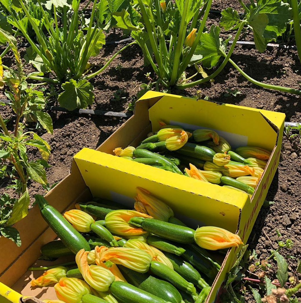 Zucchini harvested at Royal Greens Family Farm. Photo courtesy of Royal Greens Family Farm.