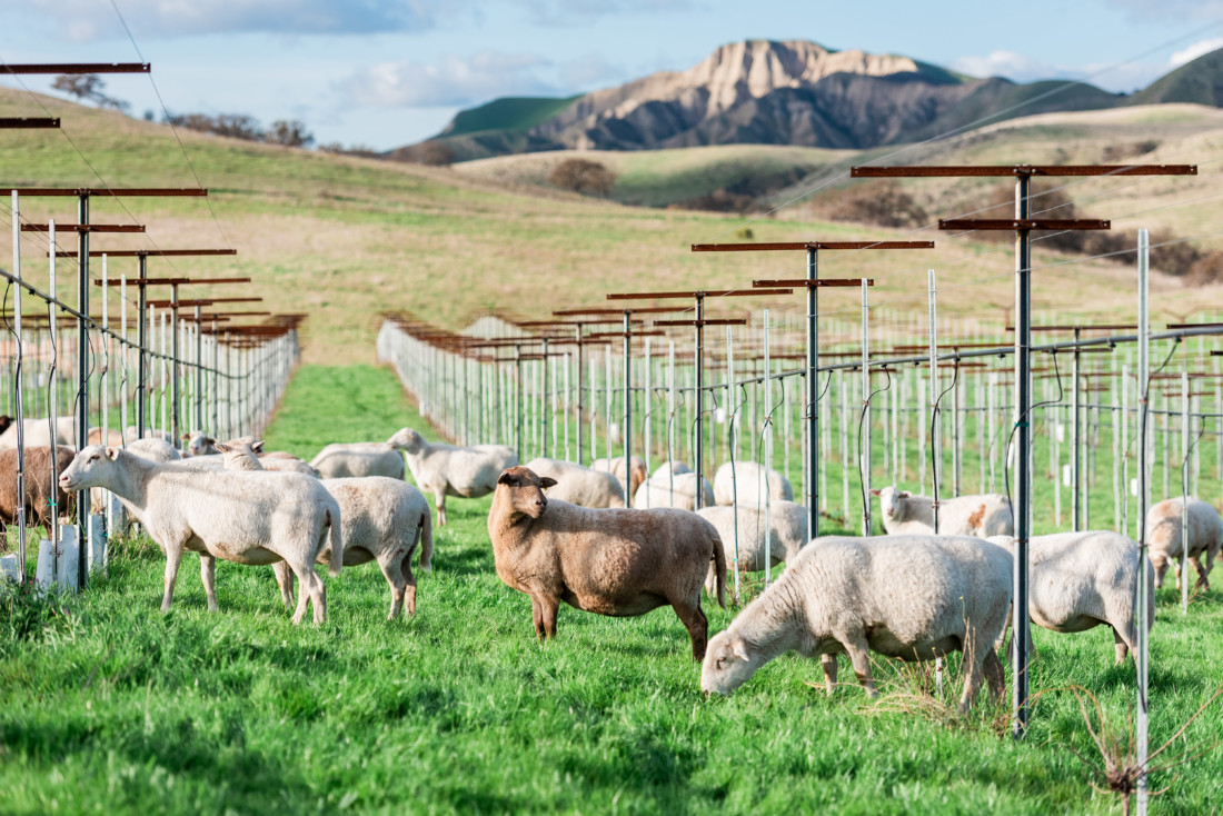 Sheep graze in untilled soil among the vines at Paicines Ranch. Photo provided.