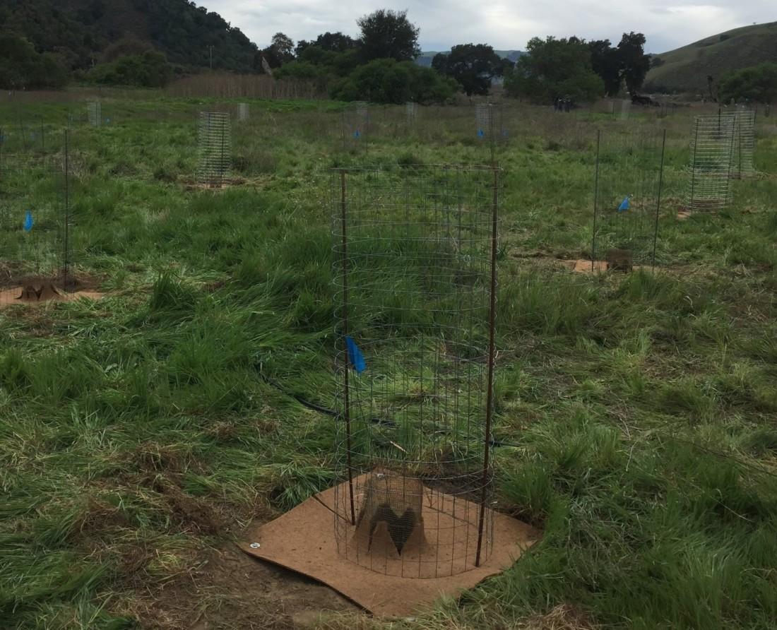 Future oak woodland habitat. Photo by Nancy Wilcox.