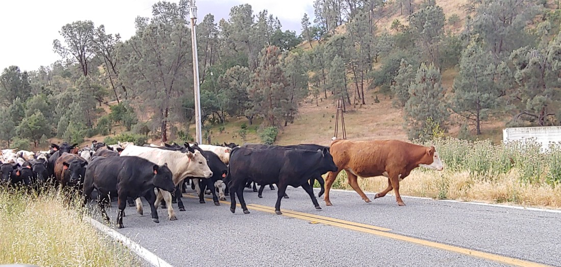 Cattle are moved from one ranch to another along Highway 25 in South County. Photo by Shari Schmidt.