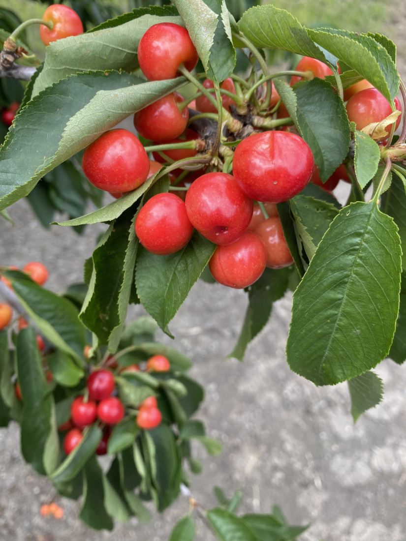 Not yet fully ripe, cherry clusters weigh heavily on tree branches along the driveway in. Photo by Leslie David.