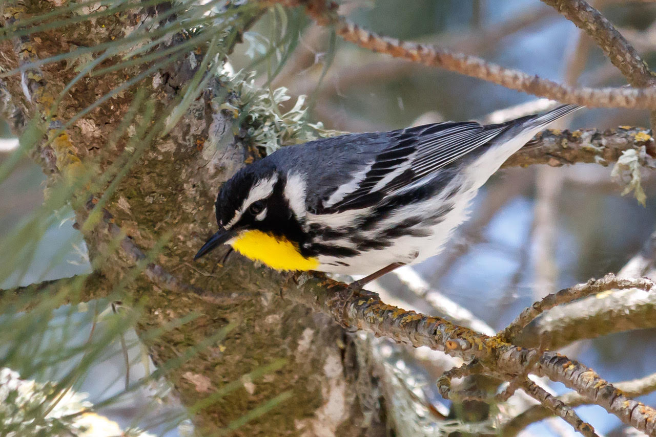 The first documented sighting of the Yellow-throated Warbler in San Benito County was May 16. Photo courtesy and copyright of Carole Rose.