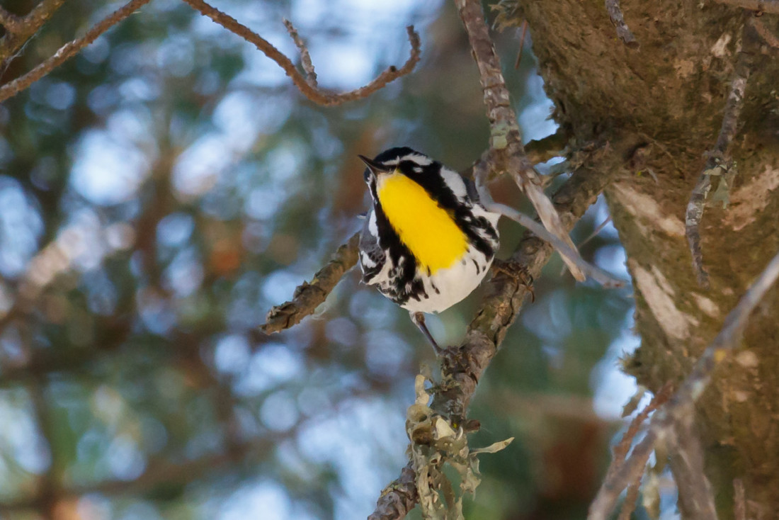 Over the month of May the Yellow-throated Warbler (featured), Kentucky Warbler, and Bobolink were all seen in San Benito County. Photo courtesy and copyright of Carole Rose.