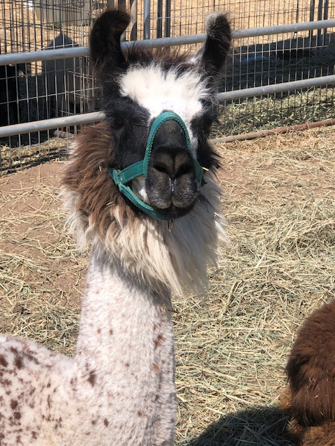 Llama. Photo courtesy of Shelby Martin.