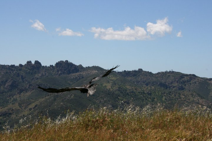 Adult condor being released at Pinnacles following a health check. Photo by Carmel de Bertaut.