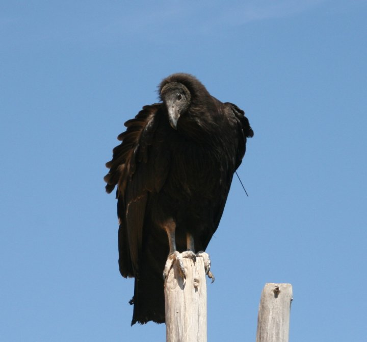A juvenile condor perched on the outside of Pinnacles holding pen. Photo by Carmel de Bertaut.