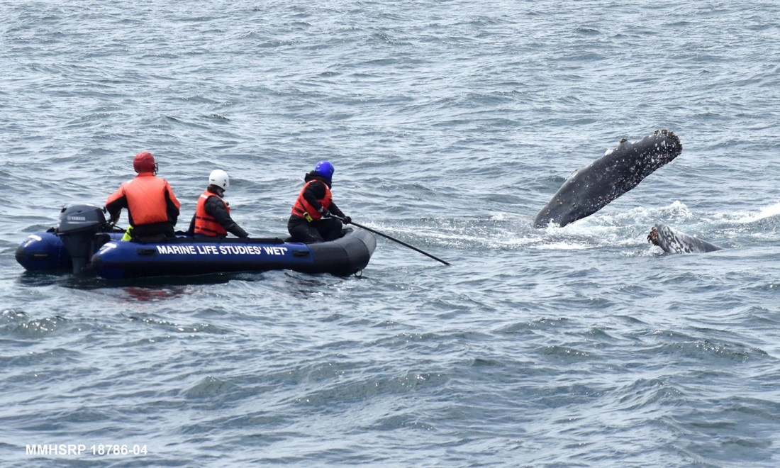 Photo courtesy of Marine Life Studies Whale Entanglement Team.