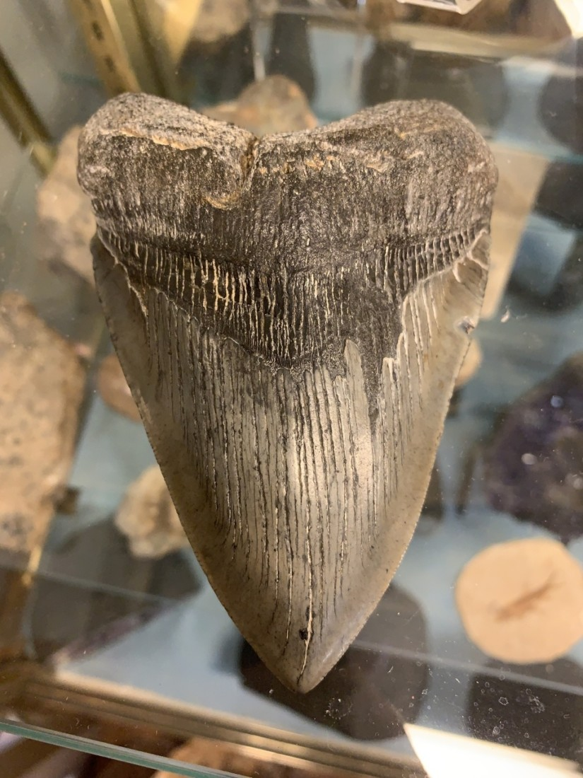 Megalodon shark tooth. Photo by Robert Eliason.