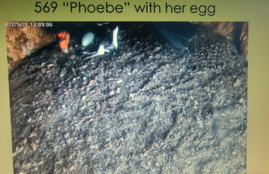Condor #569 with her egg. Screenshot from Zoom meeting.