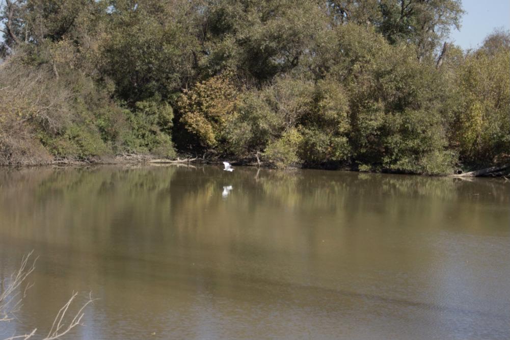 White bird flying over the Pajaro River lagoon. Photo by Noe Magaña.