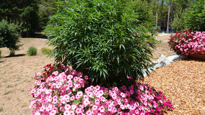 Cannabis plant. Photo courtesy of California Department of Fish and Wildlife.
