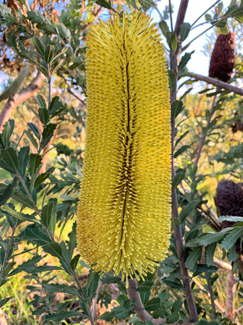 Banksia praemorsam. Photo by Robert Eliason.